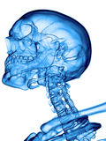 The cervical spine. Accurate medical illustration of the cervical spine Royalty Free Stock Images