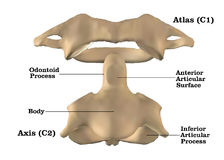 Cervical spine anatomy Stock Image
