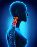 Cervical Spine Anatomy. Illustration of Cervical Spine Anatomy. 3D render Stock Photo