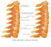 Cervical Spine Royalty Free Stock Image