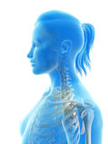 The cervical spine Stock Photos