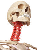 The cervical spine Stock Image
