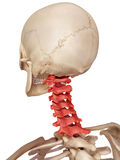 The cervical spine. Medical accurate illustration of the cervical spine Stock Images