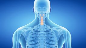 The cervical spine stock video footage