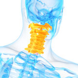 The cervical spine Royalty Free Stock Photo