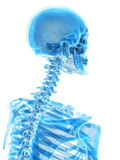 The cervical spine. Medically accurate illustration of the cervical spine Stock Photo