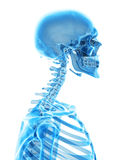 The cervical spine. Medically accurate illustration of the cervical spine Royalty Free Stock Photography