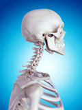The cervical spine. Medically accurate illustration of the cervical spine Stock Photography