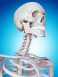 The cervical spine. Medically accurate illustration of the cervical spine Royalty Free Stock Image