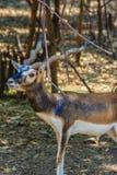 Cervicapra Antilope Blackbuck ή ινδική αντιλόπη Στοκ Φωτογραφίες