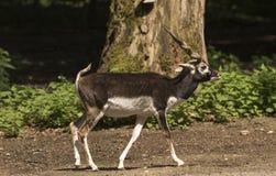 Cervicapra Antilope Blackbuck Καρλσρούη, Baden Wuerttemberg, Ger Στοκ Εικόνες
