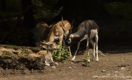 Cervicapra Antilope Blackbuck Καρλσρούη, Baden Wuerttemberg, Ger Στοκ εικόνα με δικαίωμα ελεύθερης χρήσης