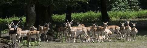 Cervicapra Antilope Blackbuck Καρλσρούη, Baden Wuerttemberg, Ger Στοκ φωτογραφία με δικαίωμα ελεύθερης χρήσης