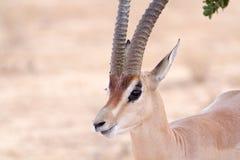 Cervicapra (bohor reedbuck), antelope of central Africa. The cervicapra Redunca or simply cervicapra (bohor reedbuck) is an antelope of central Africa. In Stock Image