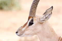 Cervicapra (bohor reedbuck), antelope of central Africa. The cervicapra Redunca or simply cervicapra (bohor reedbuck) is an antelope of central Africa. In Royalty Free Stock Image