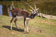 Cervicapra d'Antilope Image stock