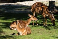 Cervicapra f?r indier Blackbuck, antilopeller indisk antilop arkivbilder