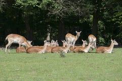 Cervicapra indiano do Antilope do blackbuck Foto de Stock