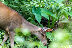 Cervidae in the forest tropics Stock Images