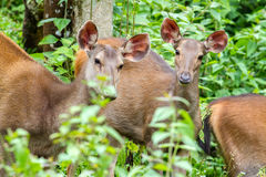 Cervidae in the forest tropics Royalty Free Stock Images