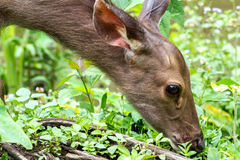 Cervidae in the forest tropics Royalty Free Stock Photography