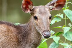 Cervidae in the forest tropics Stock Photos