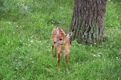Cervo-Capra del bambino Fotografie Stock Libere da Diritti