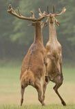 Cervo maschio Fotografie Stock