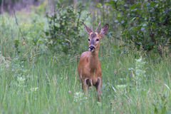Cervo masculino novo que vem no amanhecer em um prado em t Imagem de Stock Royalty Free
