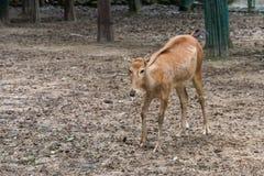 Cervo monocolore immagine stock