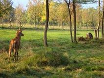 Cervo na floresta imagens de stock