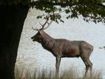 Cervo no parque animal de Sainte Croix em Moselle imagem de stock