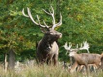 Cervo no parque animal de Sainte Croix em Moselle imagem de stock royalty free