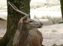 Cervo novo no parque animal de Sainte Croix em Moselle imagens de stock royalty free