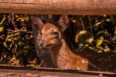 Cervo selvagem do bebê que observa a estrada de um ponto seguro antes de cruzar a rua fotografia de stock