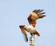 Cervo volante di Brahminy Fotografia Stock Libera da Diritti