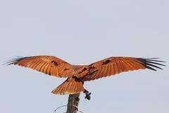 Cervo volante di Brahminy Immagine Stock Libera da Diritti