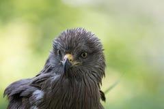 Cervo volante nero Immagini Stock