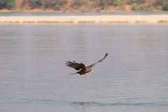 Cervo volante nero Fotografie Stock Libere da Diritti