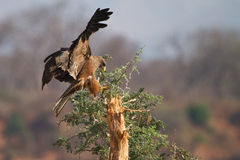 Cervo volante nero Fotografia Stock
