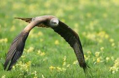 Cervo volante nero Fotografia Stock Libera da Diritti
