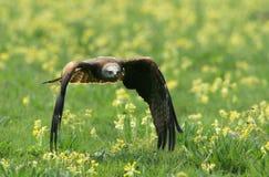 Cervo volante nero Immagine Stock