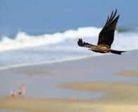 Cervo volante nero durante il volo Immagini Stock Libere da Diritti