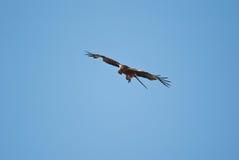 Cervo volante rosso Fotografie Stock
