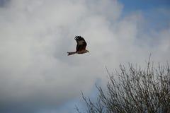 Cervo volante rosso Fotografia Stock Libera da Diritti
