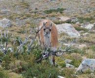 Cervos Fotos de Stock Royalty Free