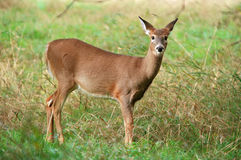 Cervos 2 Fotos de Stock Royalty Free