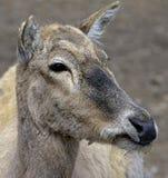 Cervos 2 do `s de Pere David Fotografia de Stock Royalty Free