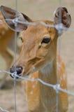 Cervos Imagens de Stock Royalty Free