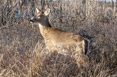 Cervos 5171 Fotografia de Stock Royalty Free